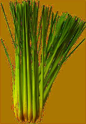 trawa cytrynowa